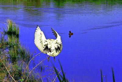 Photograph - Australian White Ibis Take Off by Miroslava Jurcik