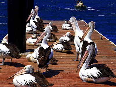 Photograph - Australians Pelicans Relaxing For Little While by Miroslava Jurcik