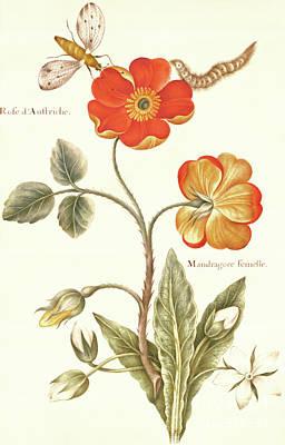 Fauna Painting - Austrian Briar Rose And Mandragora by Nicolas Robert