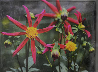 Photograph - Windmill Dahlias 101115415 by Theresa Pausch
