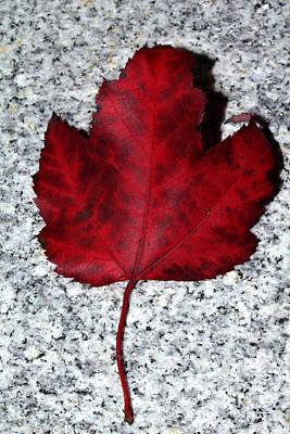 Photograph - Autum Maple Leaf 1 by Robert Morin