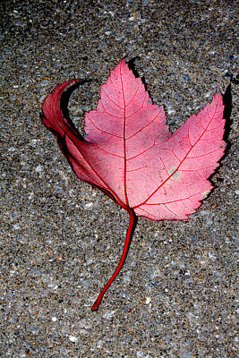 Photograph - Autum Maple Leaf 2 by Robert Morin