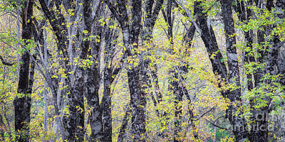 Photograph - Autum Oaks by Anthony Michael Bonafede