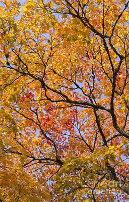 Acer Palmatum Photograph - Autumn Acer Palmatum Matsumurae by Tim Gainey