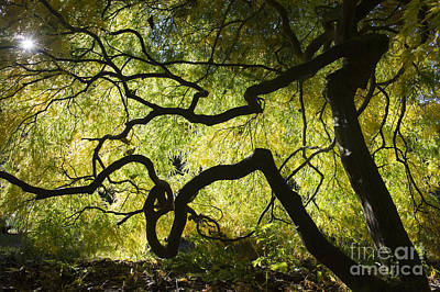 Autumn Acer Sunlight Art Print by Tim Gainey