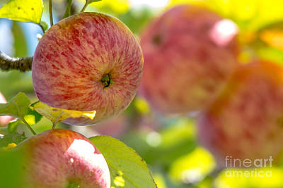 Photograph - Autumn Apples by Cheryl Baxter