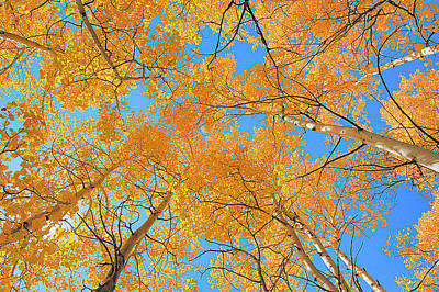 Photograph - Autumn Aspen Ceiling by Kevin Munro