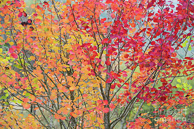 Photograph - Autumn Aspen Colour by Tim Gainey