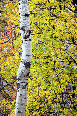 Photograph - Autumn Aspen by David Millenheft