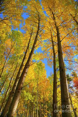 Autumn Aspen Forest Art Print by Veikko Suikkanen