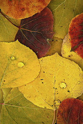 Photograph - Autumn Aspen Leaves by Joseph Rossbach