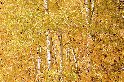autumn aspen leaves Populus tremuloides Art Print by Ed Book