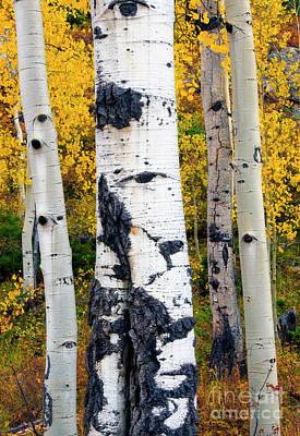 Photograph - Autumn Aspen by Mike Dawson