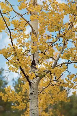 Photograph - Autumn Aspen  by Saija Lehtonen