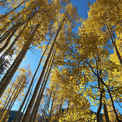 Photograph - Autumn Aspen With Blue Sky by Cascade Colors