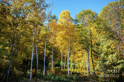 Photograph - Autumn Aspens by Cheryl Baxter
