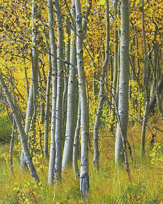 Photograph - Autumn Aspens by Tom Kidd
