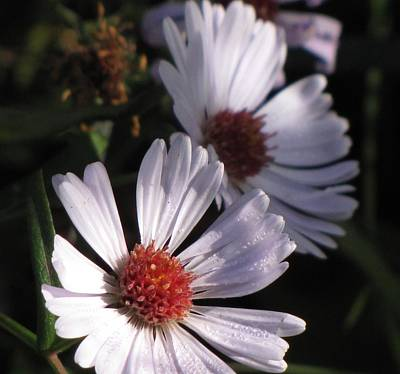 Photograph - Autumn Asters by MTBobbins Photography