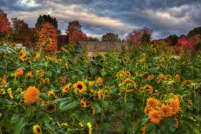 Photograph - Autumn Barn In A Field Of Sunflowers by Joann Vitali