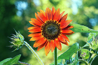 Photograph - Autumn Beauty Sunflower In Summer I by Jeff Severson