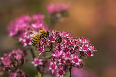 Photograph - Autumn Bee On Flowers by Yeates Photography