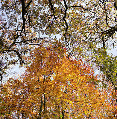 Photograph - Autumn Beech Canopy by Tim Gainey