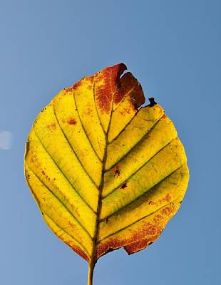 Photograph - Autumn Beech Leaf by Richard Brookes