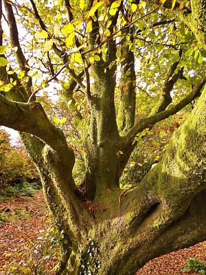 Photograph - Autumn Beech Tree by Richard Brookes