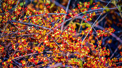 Of Bittersweet Photograph - Climbing Bittersweet Cluster by Black Brook Photography