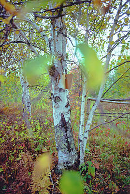 Photograph - Autumn Birch by Bernard Lynch