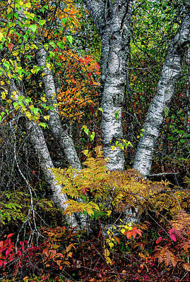 Photograph - Autumn Birch by Marty Saccone