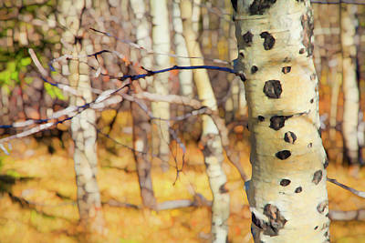 Photograph - Autumn Birch by Theresa Tahara