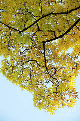 Photograph - Autumn Bitternut Hickory Tree Canopy by Tim Gainey