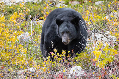 Photograph - Autumn Black Bear by Jack Bell