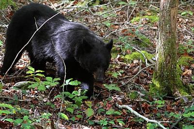 Photograph - Autumn Black Bear by TnBackroadsPhotos