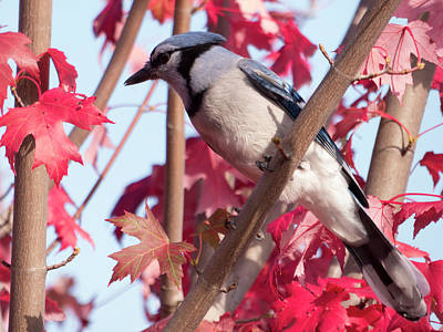 Photograph - Autumn Blue Jay 1 by Leslie Montgomery