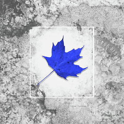Photograph - Autumn Blue Maple Leaf by John Stephens