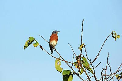 Photograph - Autumn Bluebird by Debbie Oppermann