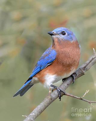 Photograph - Autumn Bluebird2 by Amy Porter