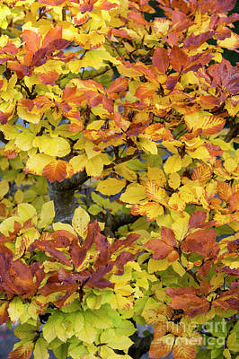 Photograph - Autumn Bonsai Beech Tree Leaves by Tim Gainey