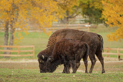 Photograph - Autumn Buffaloes Cow And Calf by James BO Insogna