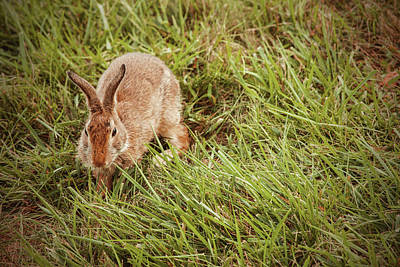 Photograph - Autumn Bunny by Karol Livote