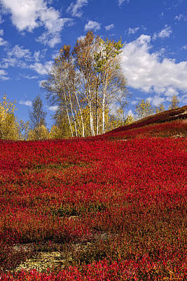 Photograph - Autumn Birches And Barrens by Marty Saccone