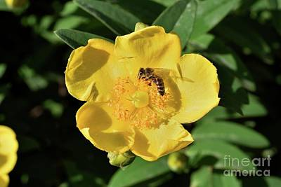 Photograph - Autumn Buttercup With Bee by George Atsametakis