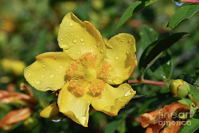 Photograph - Autumn Buttercup With Dewdrops by George Atsametakis