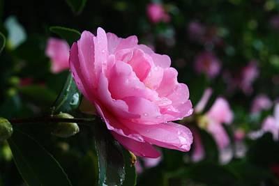 Photograph - Autumn Camellia by Kathryn Meyer