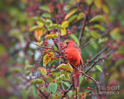 Photograph - Autumn Cardinal In The Berries by Kerri Farley