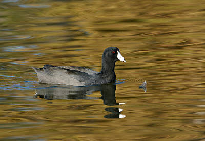 Photograph - Autumn Coot 2 by Fraida Gutovich