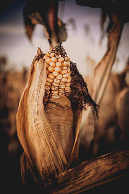 Photograph - Autumn Corn by Jeanette Fellows