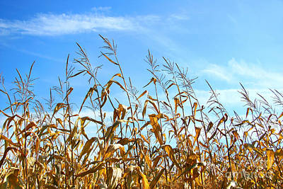 Autumn Corn Print by Sandra Cunningham